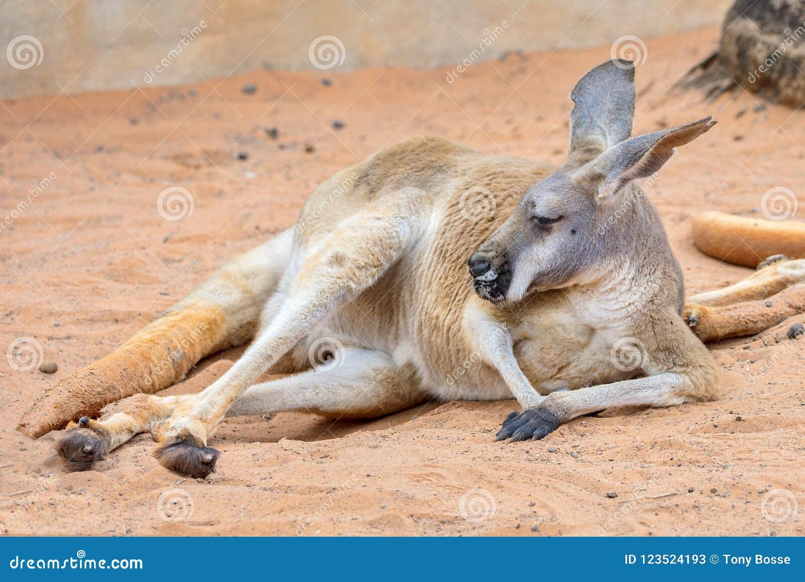 Canguru preguiçoso na areia