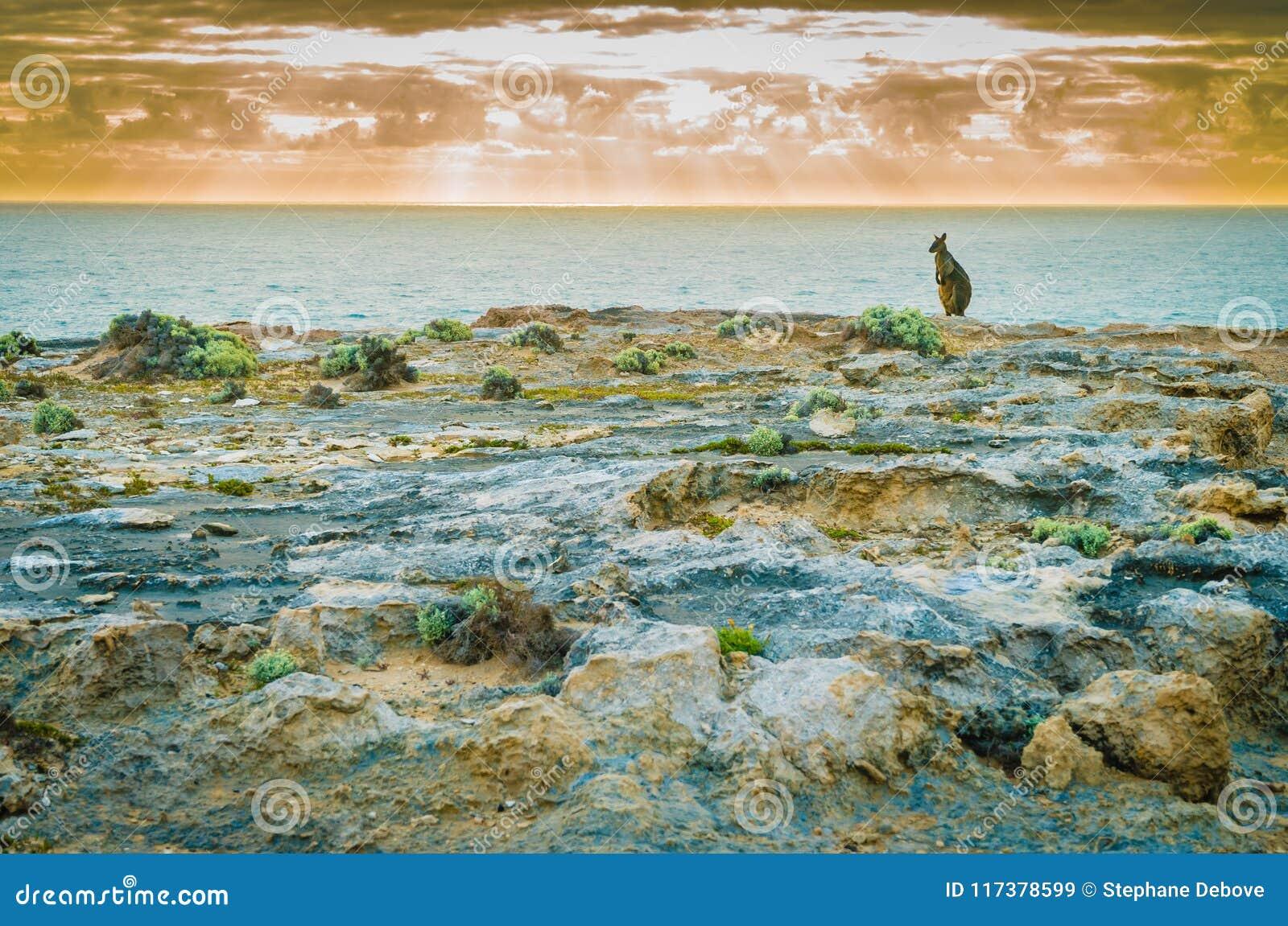 Canguru que refrigera pelo mar no por do sol em Austrália