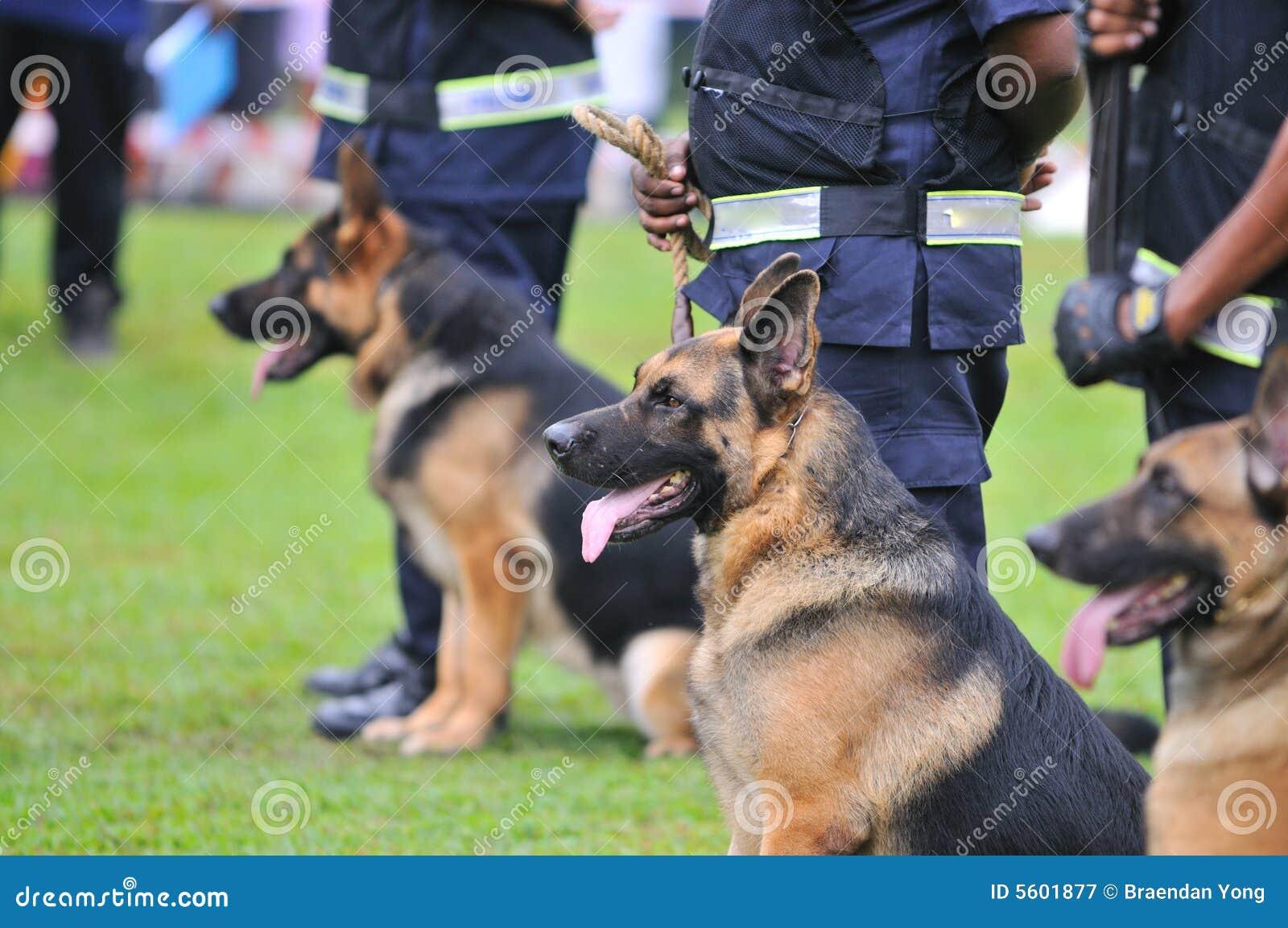 Cani da guardia I immagine stock Immagine di razze, tedesco 5601877