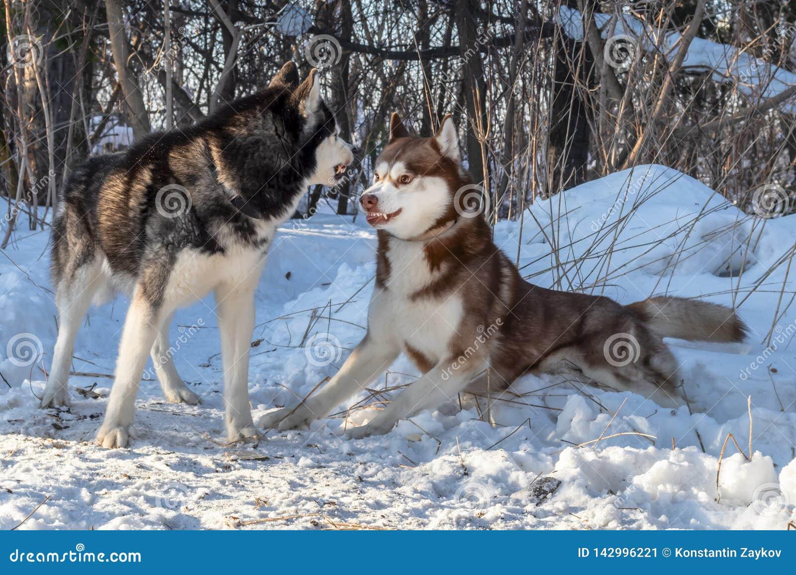 Cani del husky siberiano che giocano nella lotta della foresta di inverno, ringhio, pronto a combattere con peli sull estremità n
