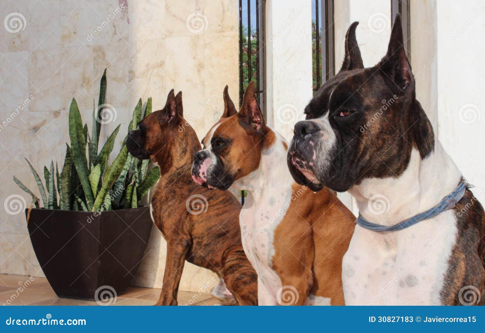 Cani del pugile