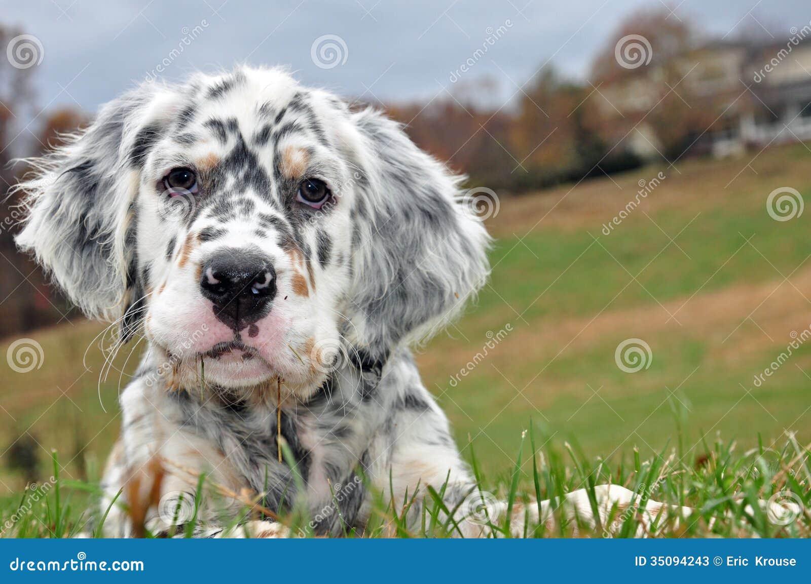 Cani del setter inglese fotografie stock immagine 35094243 for Cabina nelle montagne della carolina del nord