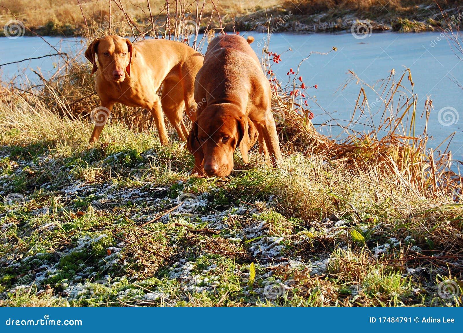 Cani di caccia