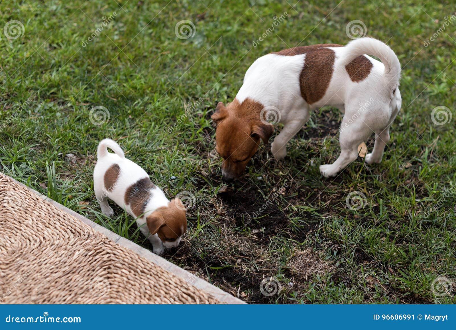 Animali Da Esterno cani di jack russell che giocano sul prato dell'erba il