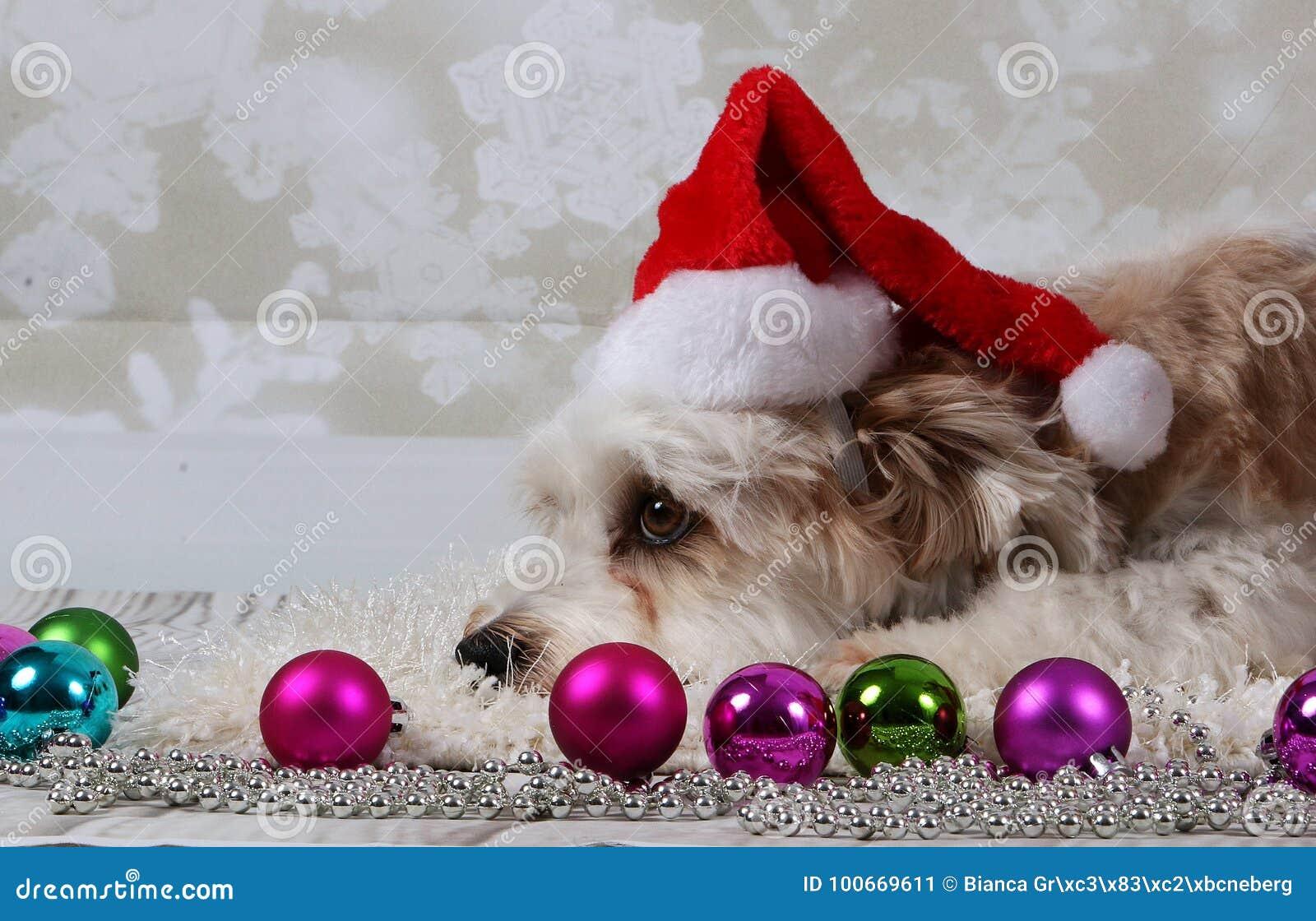 Immagini Divertenti Animali Natale.Cani Divertenti Di Natale Immagine Stock Immagine Di Capelli 100669611
