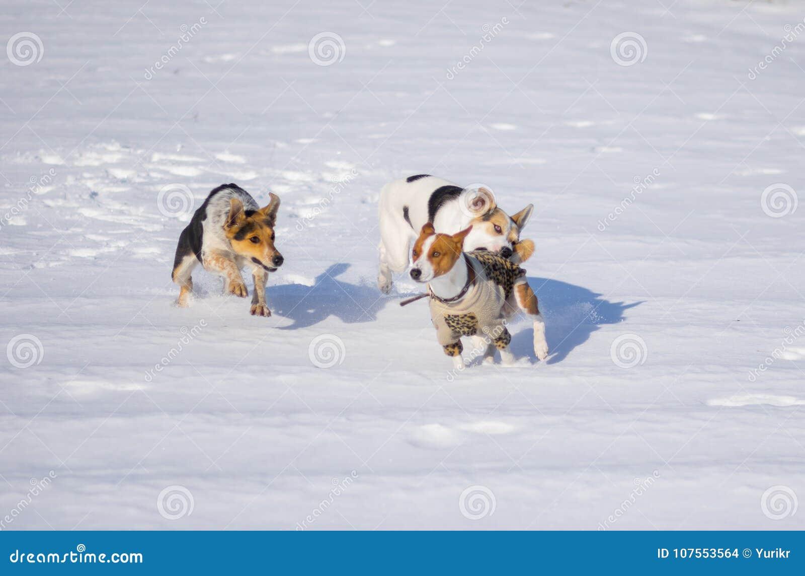Cani misti della razza che attaccano il cane di basenji