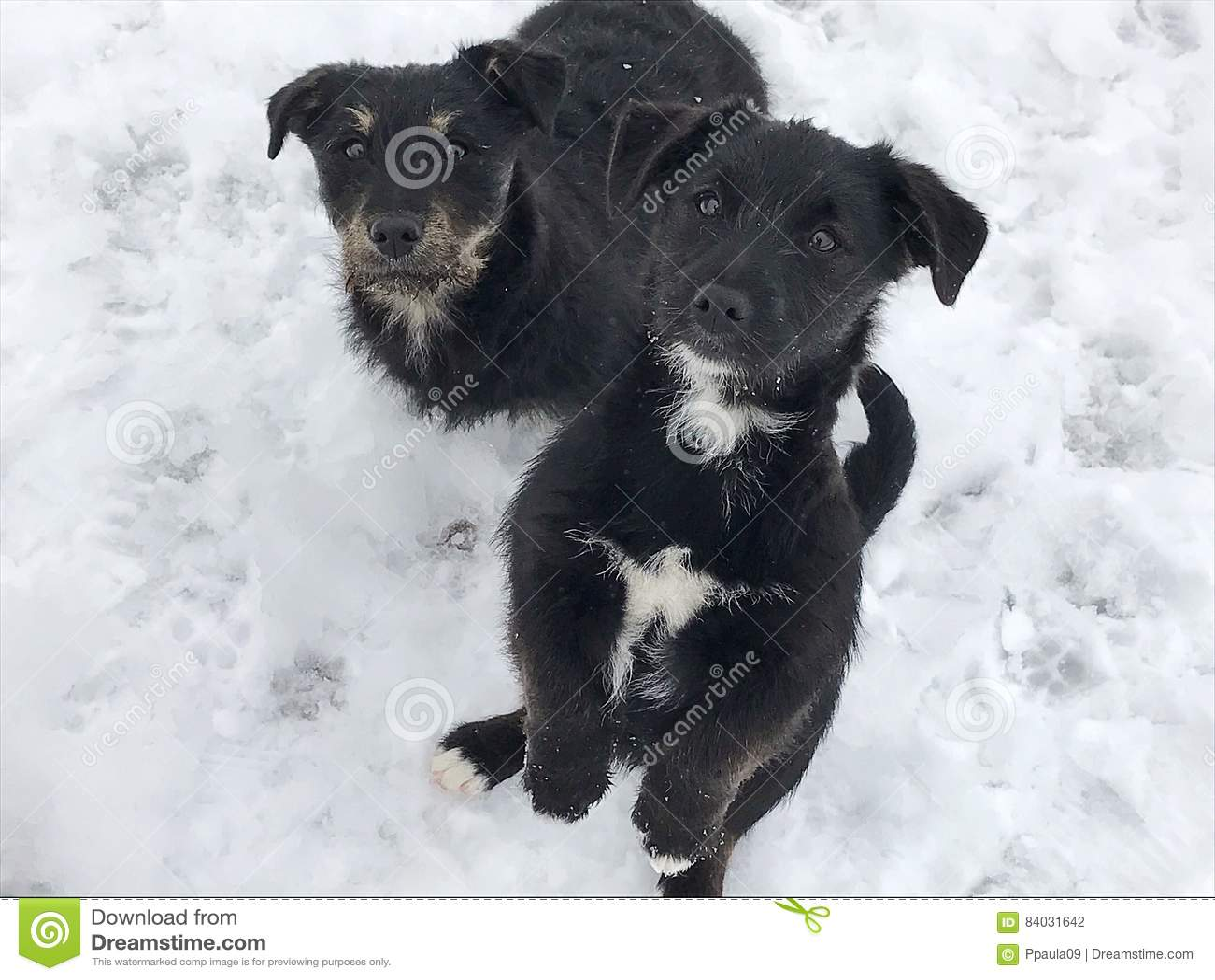 Cani neri del bambino su neve