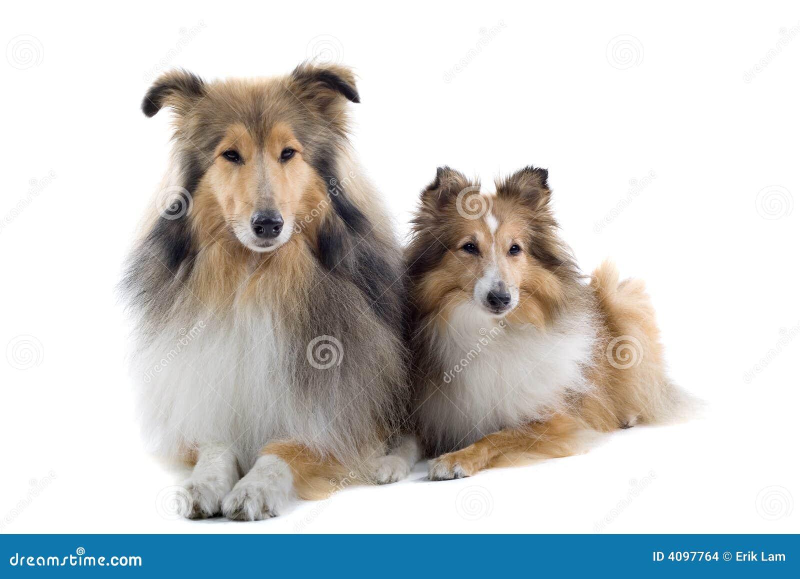 Cani scozzesi del collie