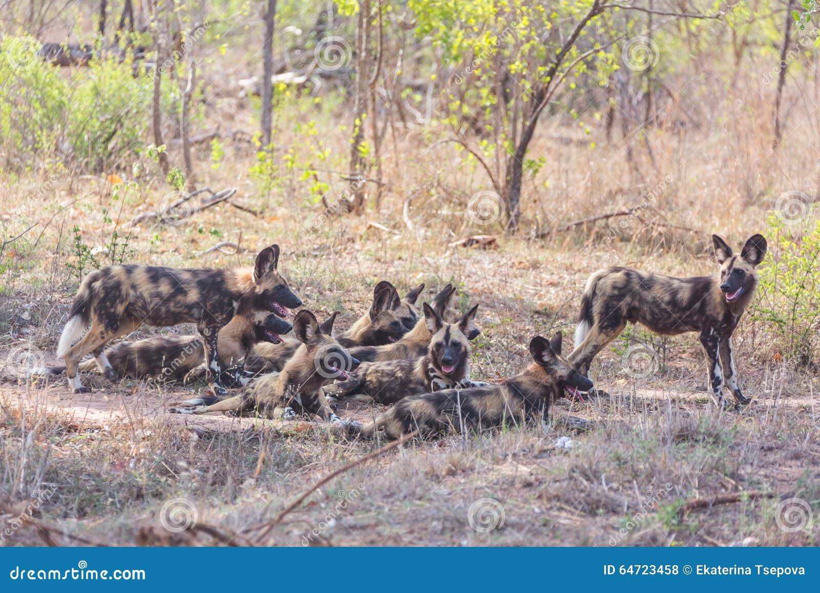 Cani selvaggi africani