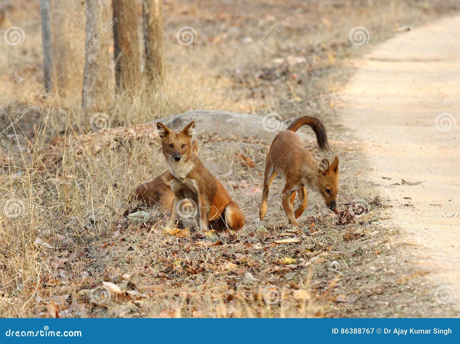 Cani selvaggi asiatici immagine stock Immagine di mammifero 86388767