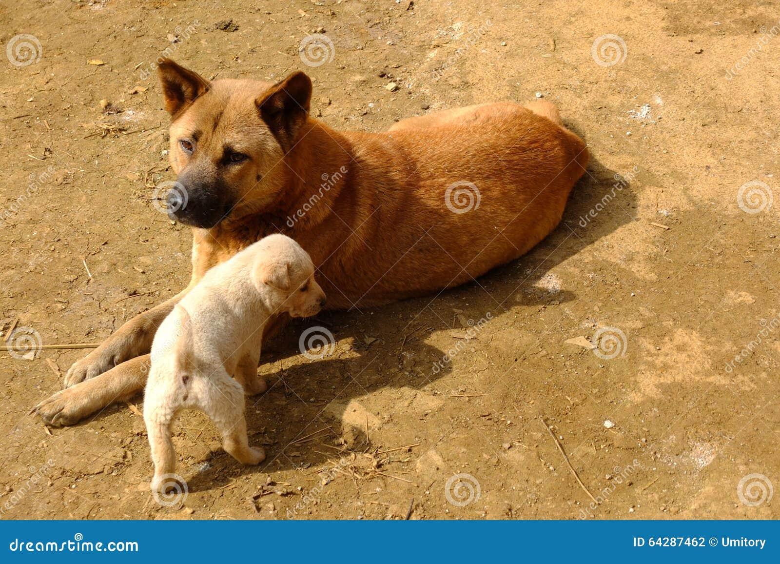 Cani Vietnamiti Locali In Altopiano Di Moc Chau Vietnam Fotografia