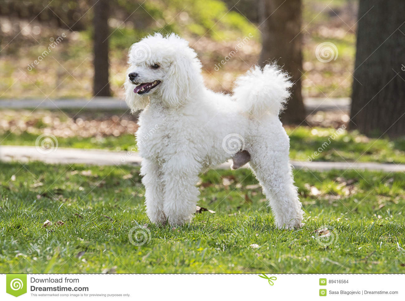 Caniche branca bonita