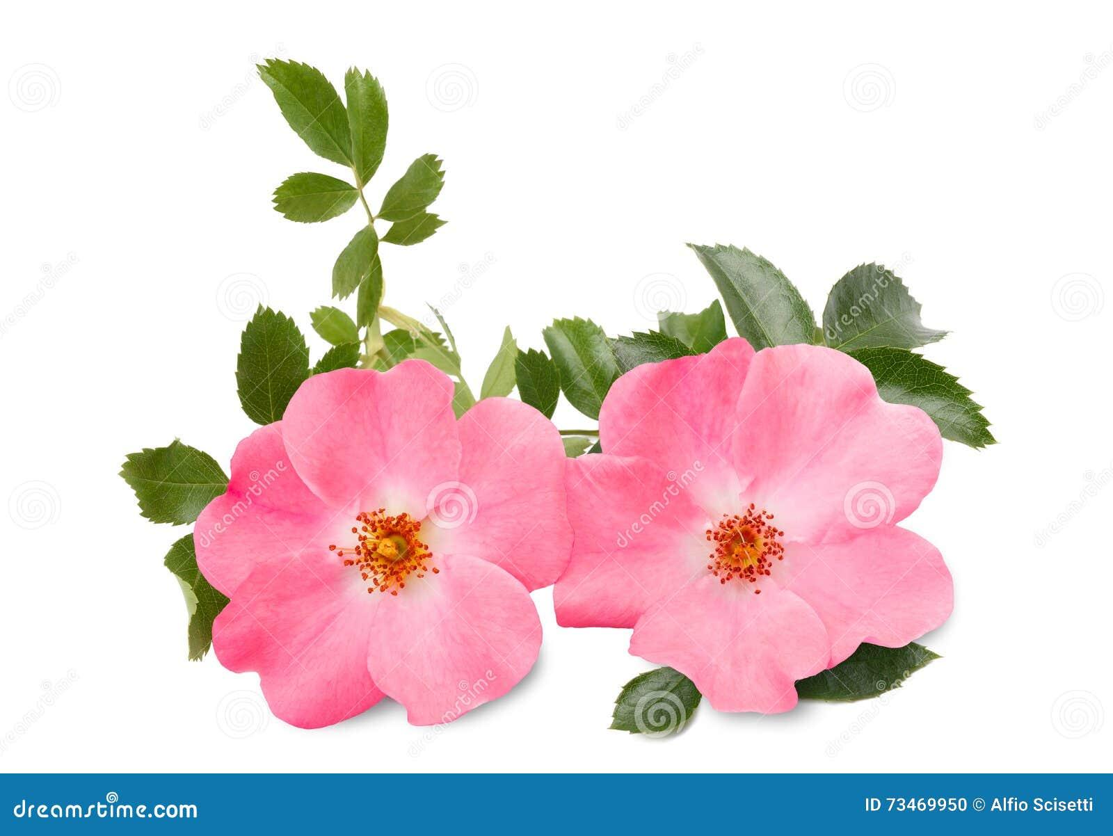 Canina rosa