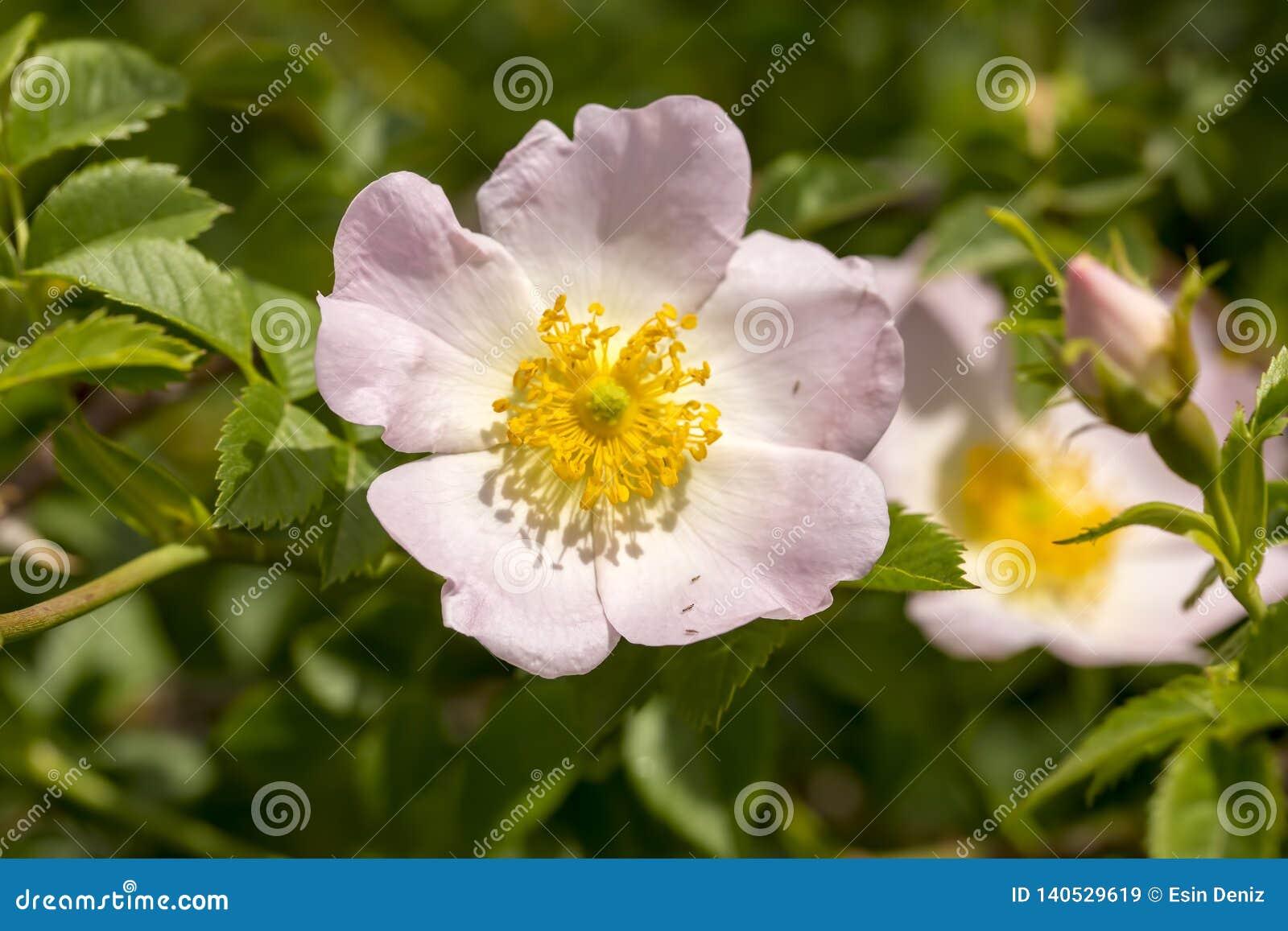 Canina salvaje de Rose Rosa con los pétalos abiertos en primavera