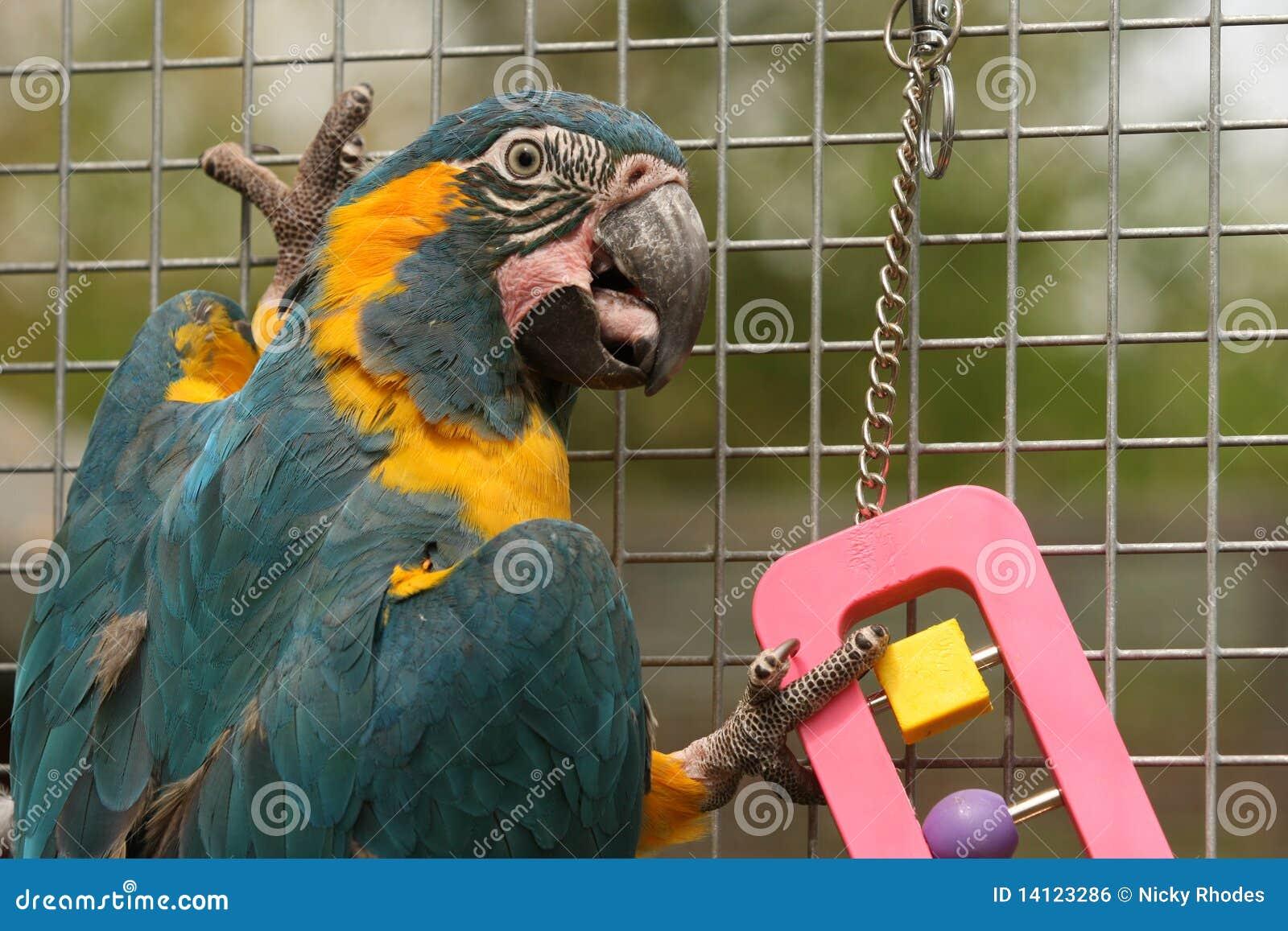 Caninde Macaw-Papageien-Spielen