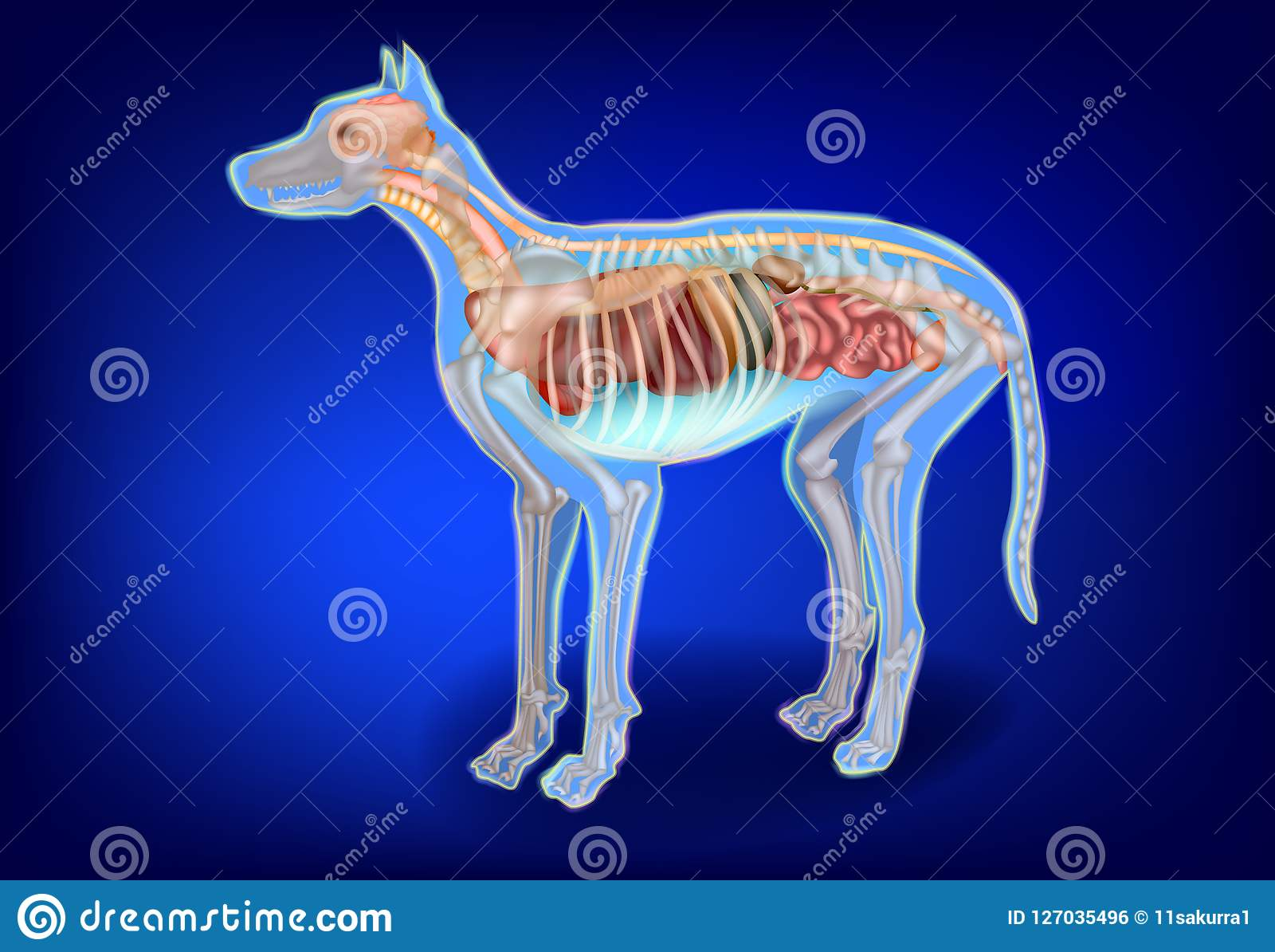 Canine Internal Organs And Skeleton Stock Vector Illustration Of