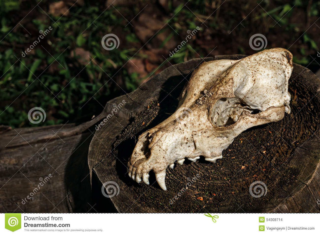 Canine skull closeup stock photo. Image of deceased, horror - 54308714