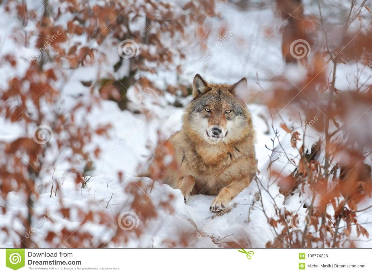 Canis Lupus Loup En Nature Dhiver Belles Photos De Nature