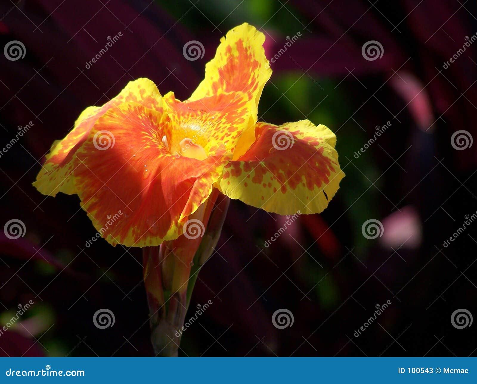 Canna Blume