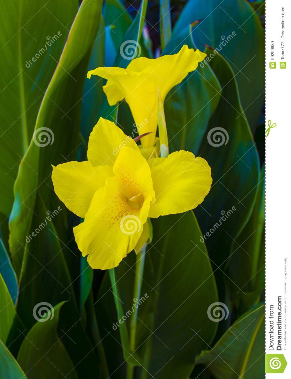 Canna flowers yellow canna flower in the garden stock image canna flowers yellow canna flower in the garden mightylinksfo