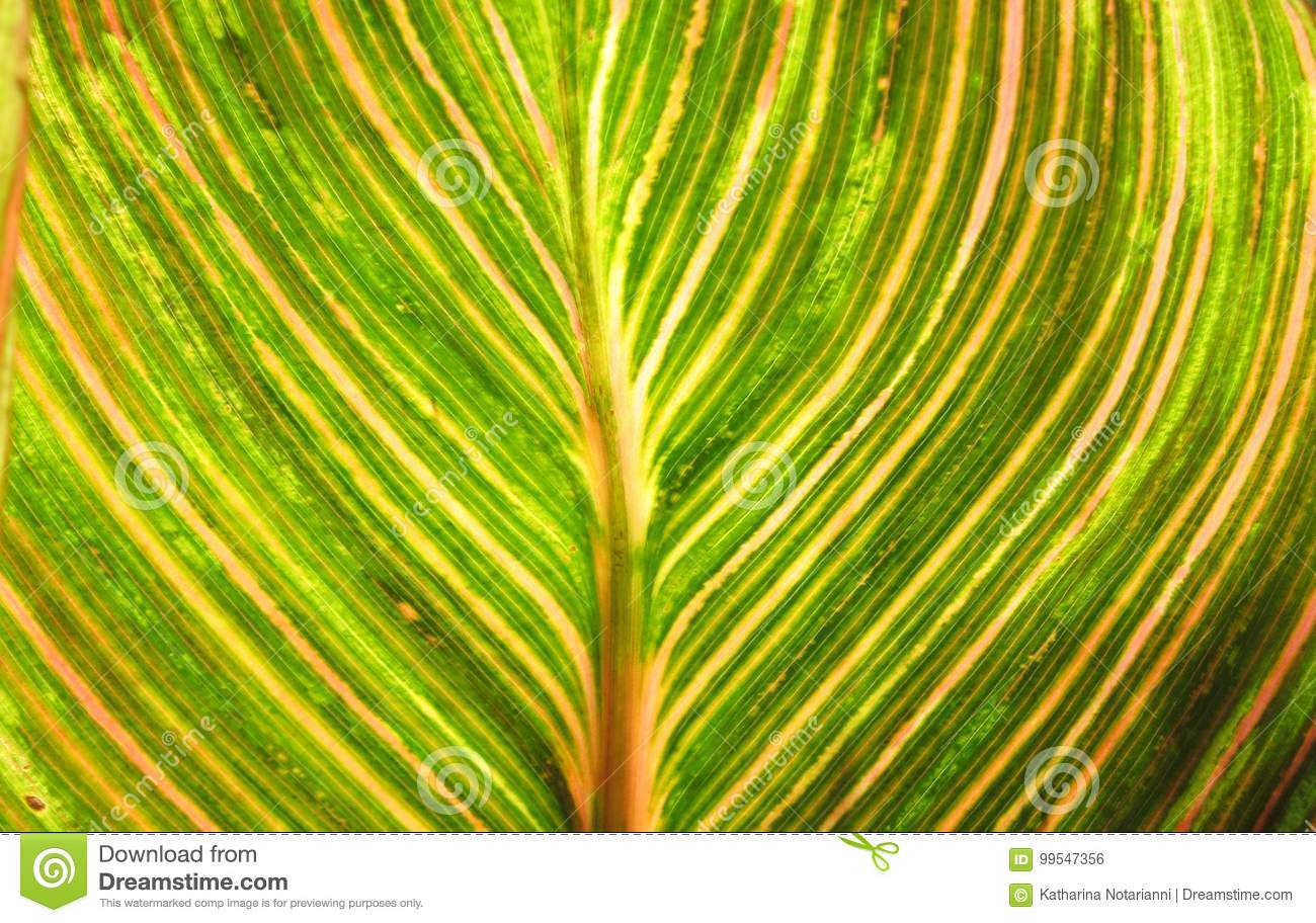 Canna foliage close up green and pink striped leaf