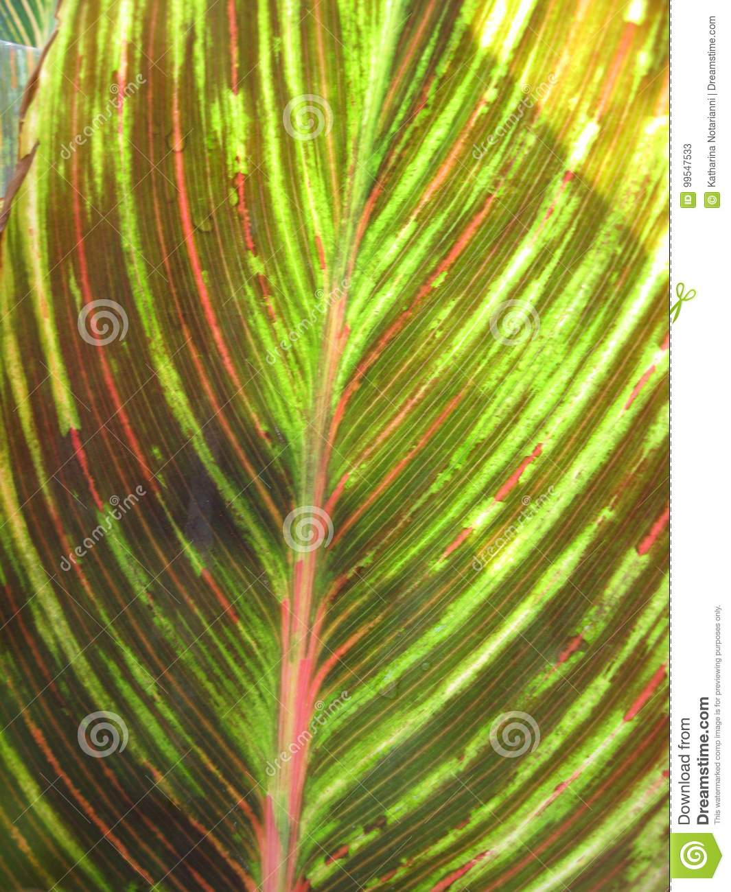 Canna foliage close up red and green striped leaf