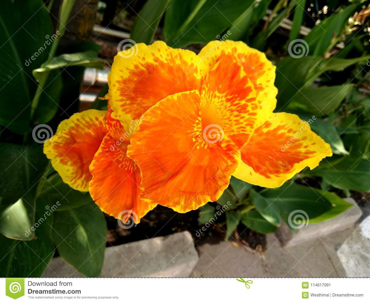 Canna Hybrida Cultivar With Orange Yellow Flowers Mottled Red Stock