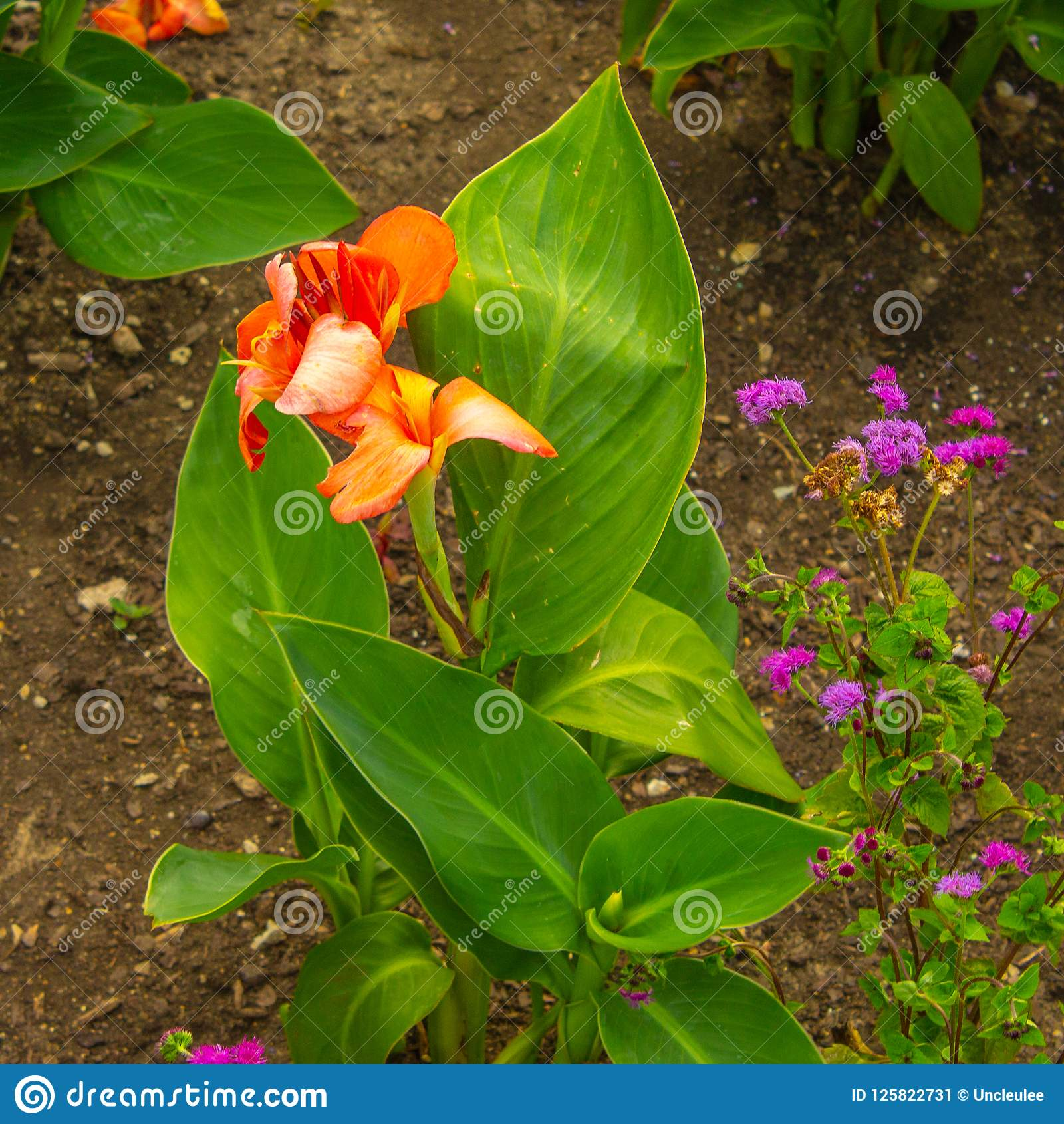 Canna Lily Plant And Flower Stock Image Image Of Natural Color