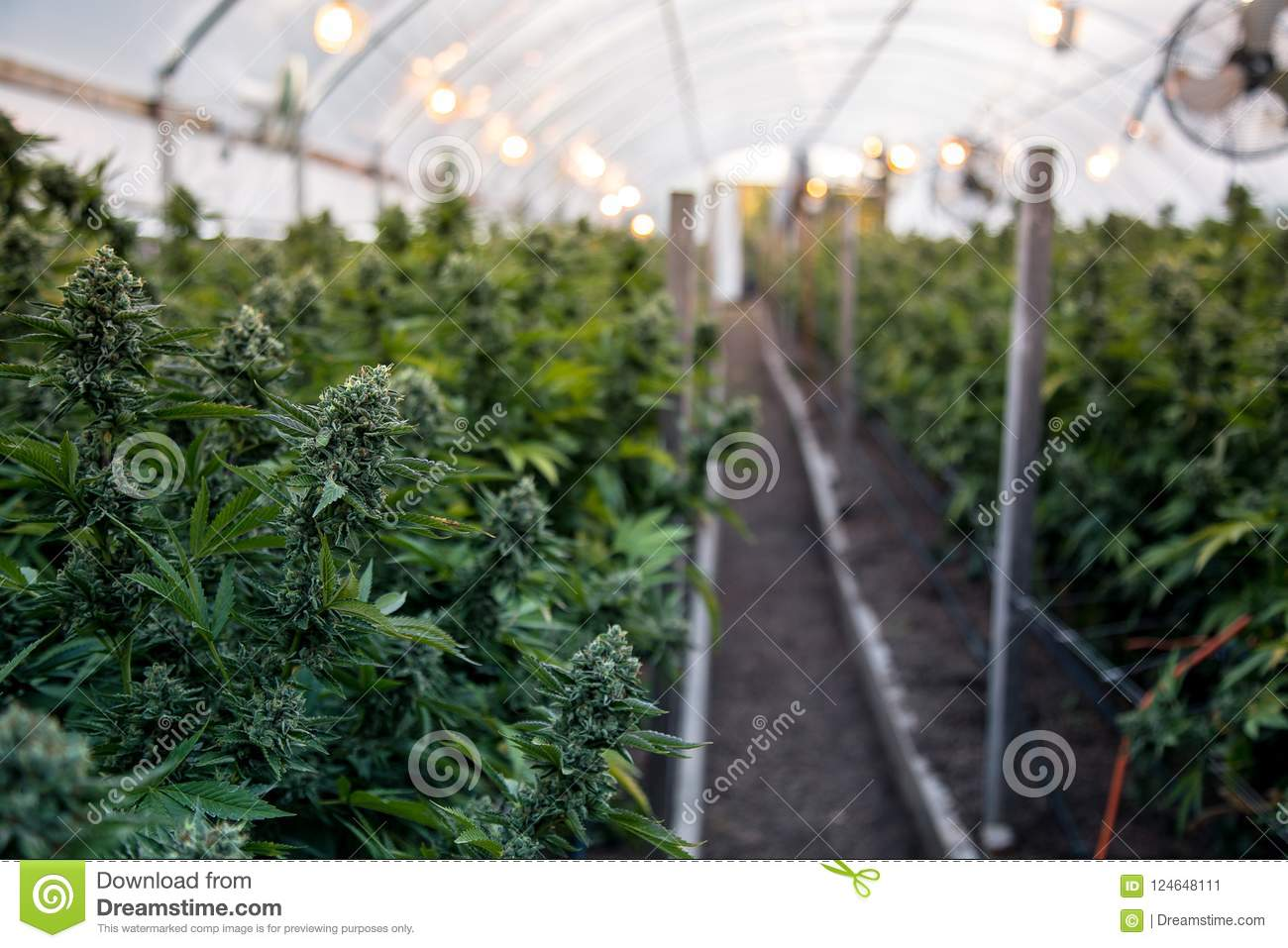 Cannabis buds in greenhouse