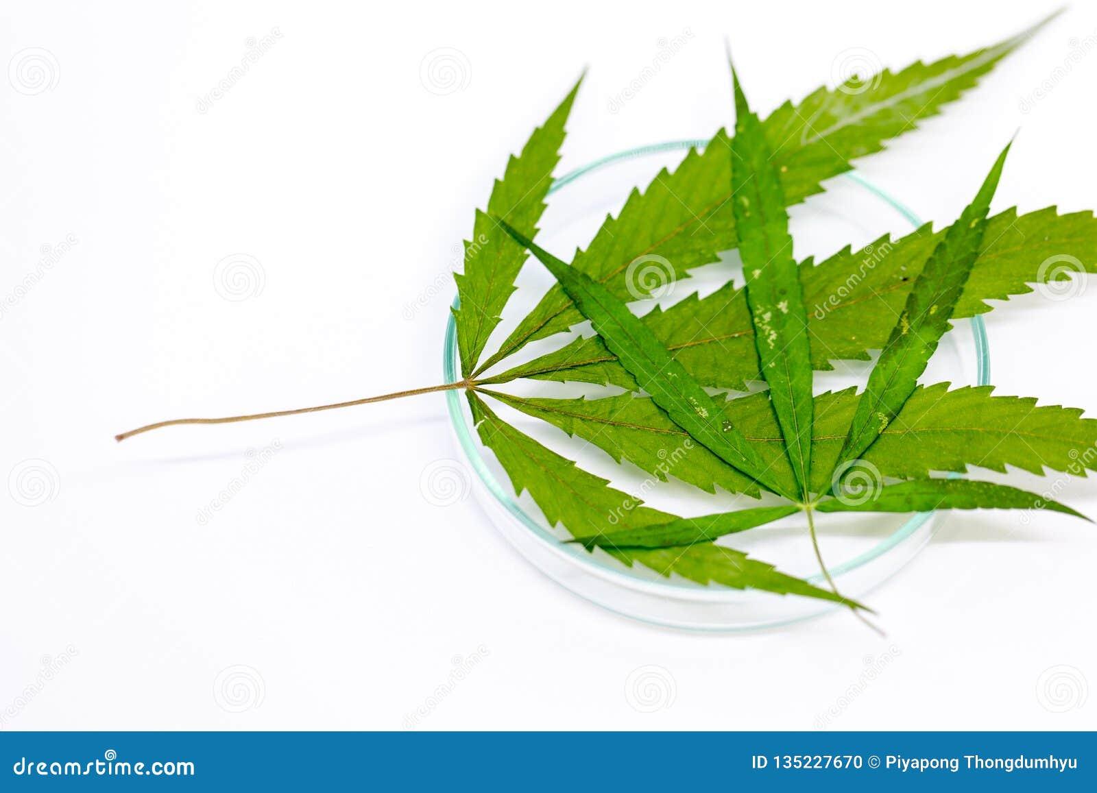 Cannabis förgiftar, analys av cannabis i laboratorium