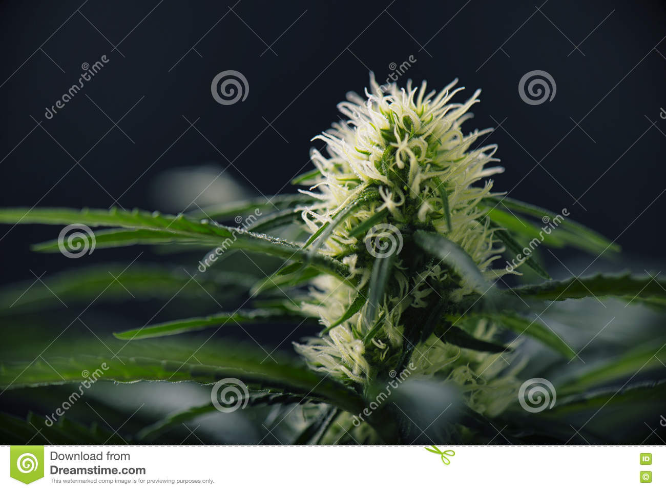Cannabis Flower Blooming Marijuana Plant With Early White Flow Stock
