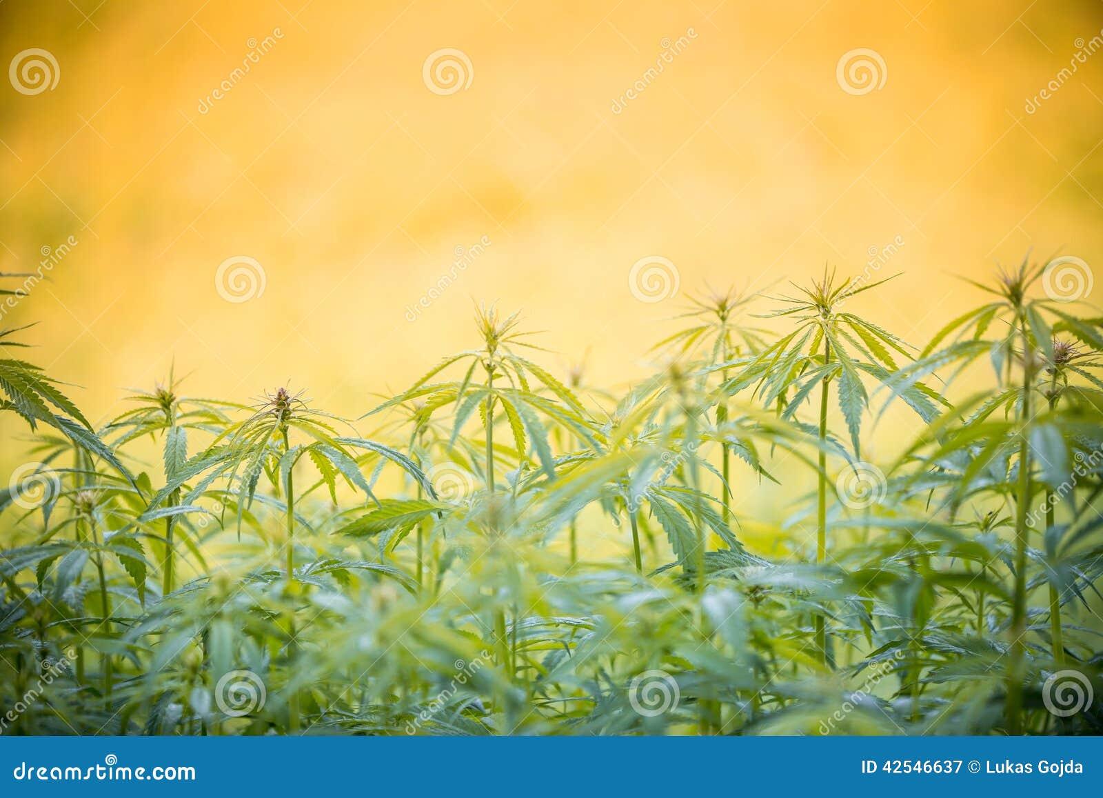 Cannabis leaf, marijuana plant