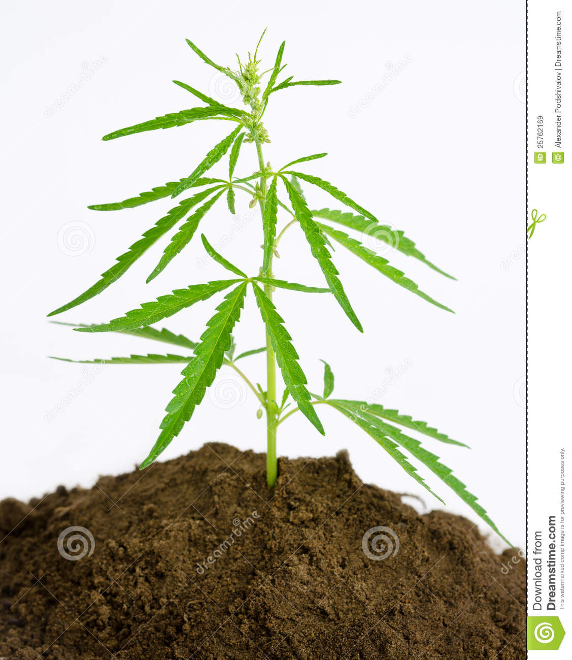 related weed plant logo weed plant drawing weed clip art weed ...