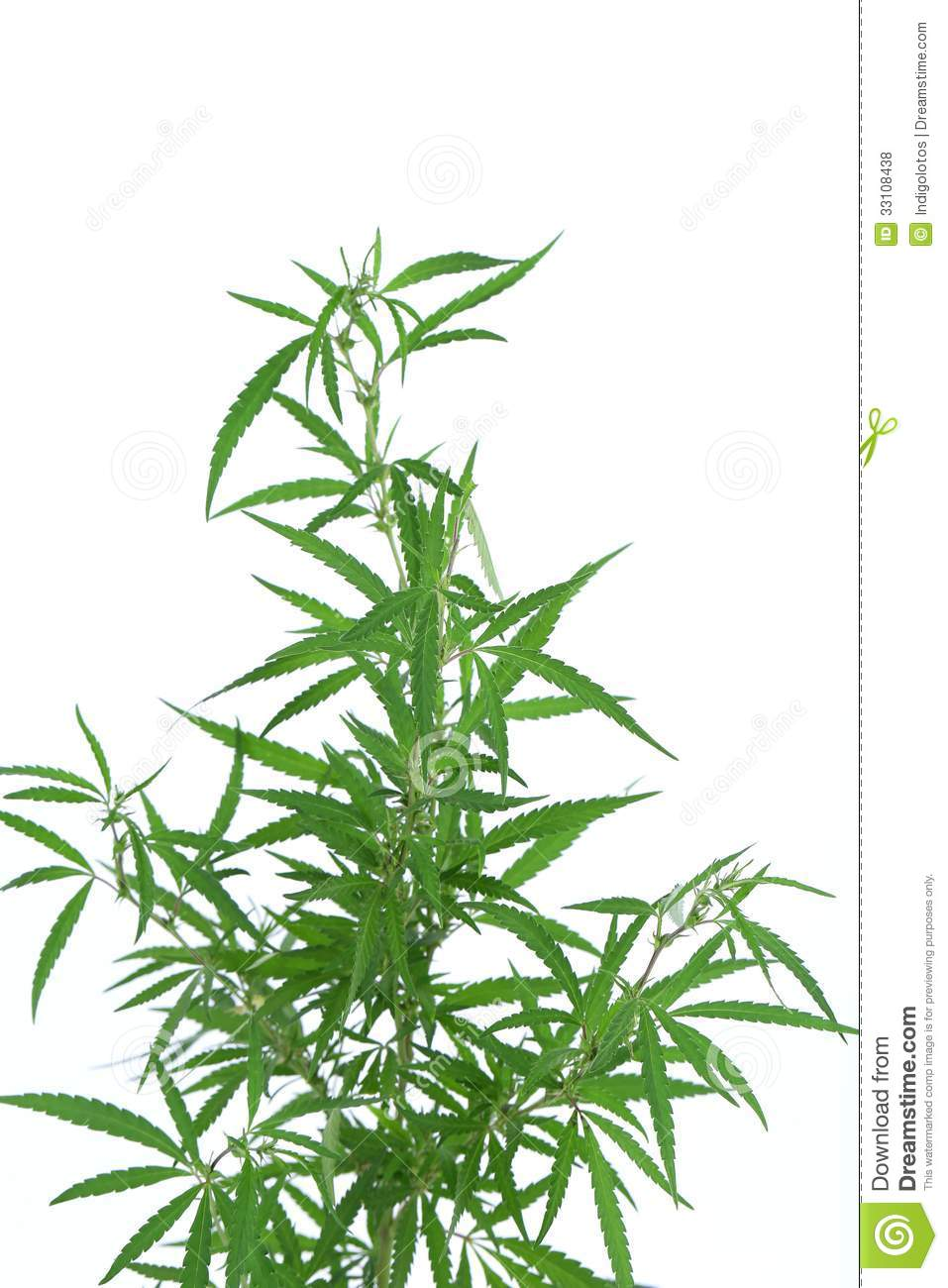 Cannabis plant royalty free stock photos image 33108438