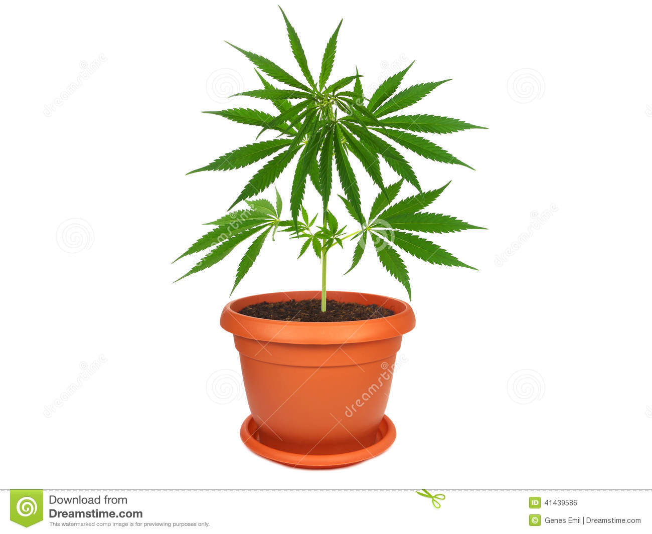 Cannabis plant in a pot stock photo image of agriculture for Plante verte exterieur