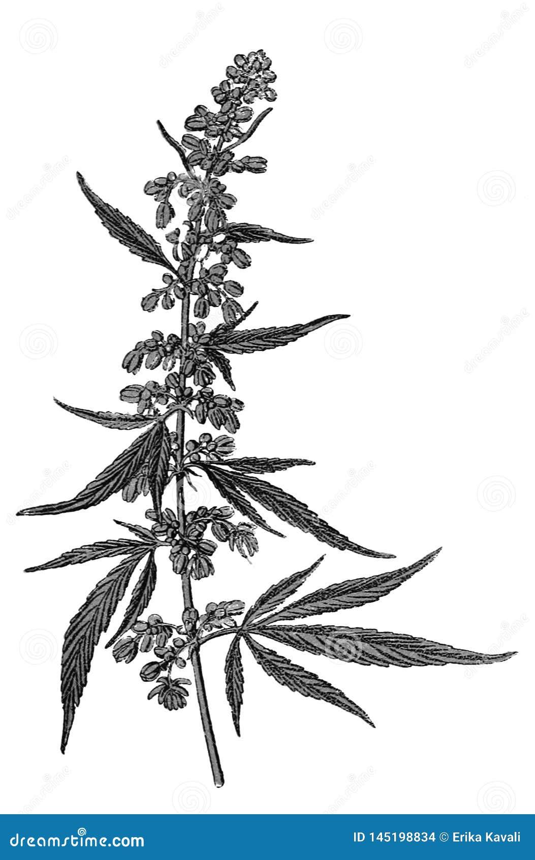 Cannabis sativa clip art