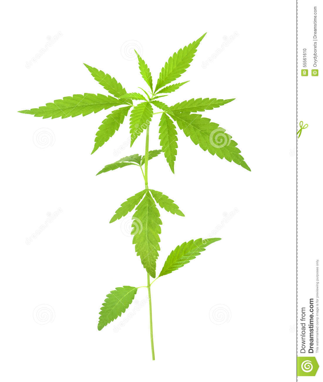 an introduction to the marijuana a plant cannabis sativa Marijuana is the common name for cannabis sativa, a hemp plant that grows throughout temperate and tropical climates  introduction - marijuana and medicine.