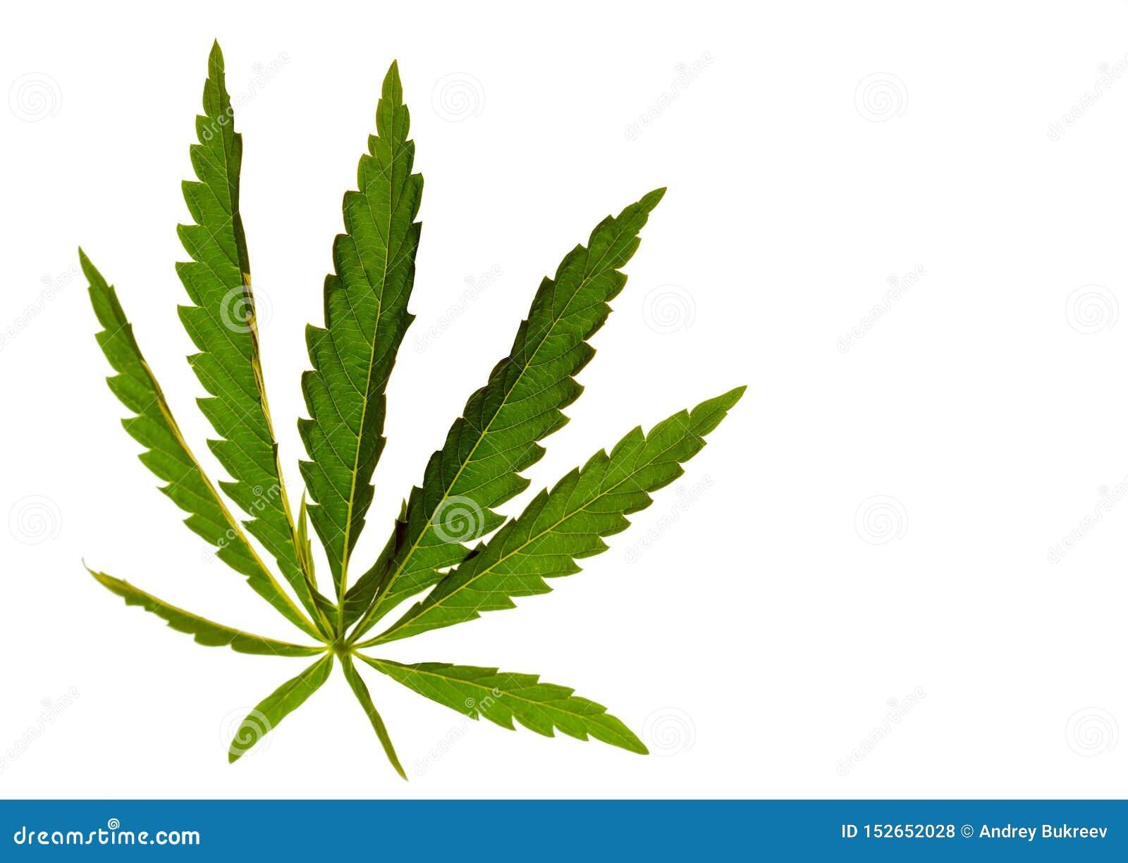 Cannabisbladmarijuana på en isolerad bakgrund riktade ljus på objektet