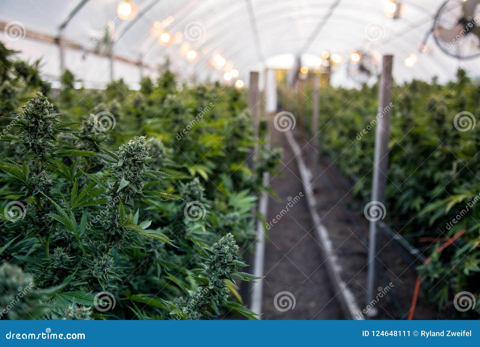 Cannabisknoppen in serre