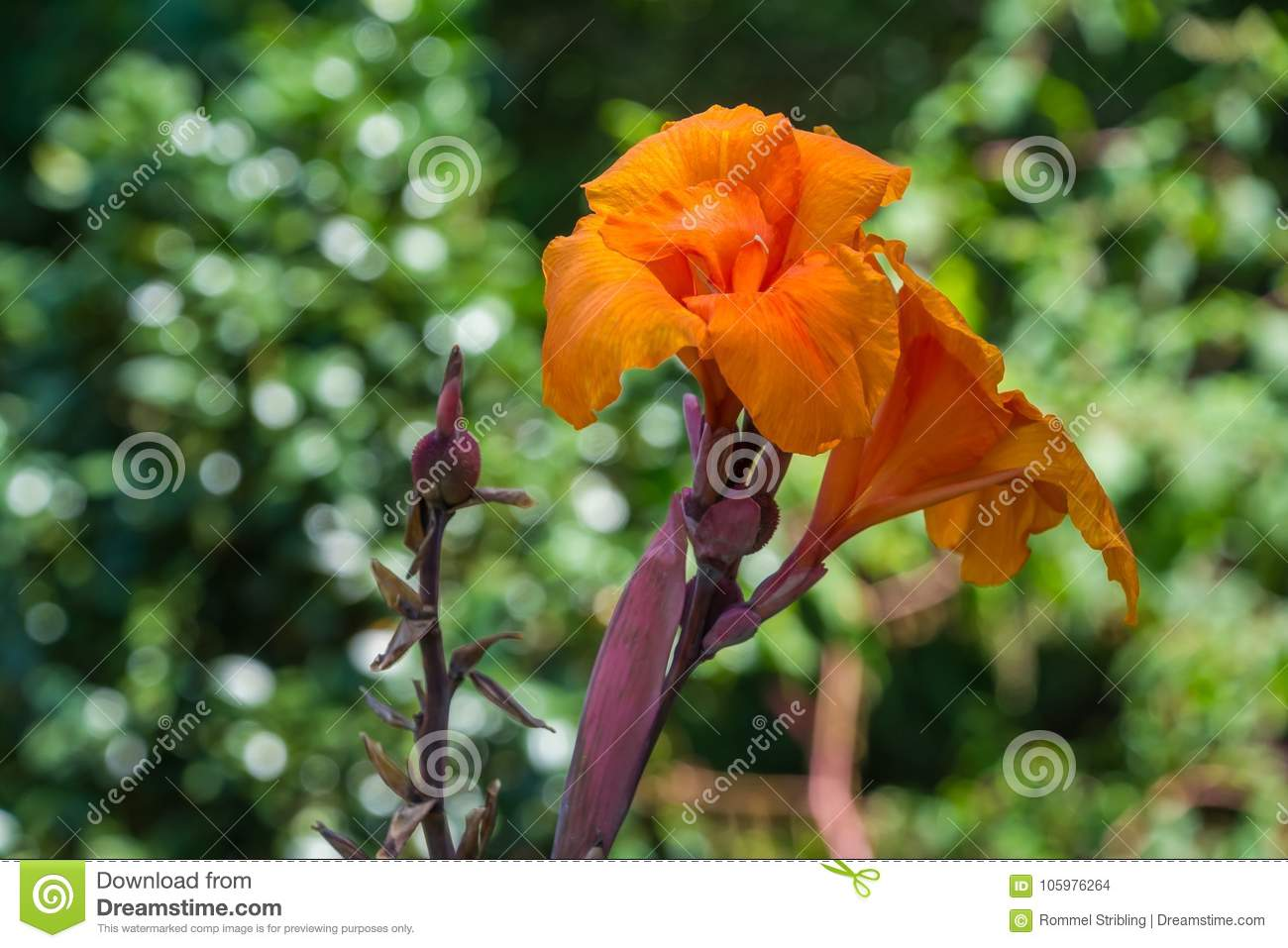 Orange Canna Flower In Bloom Stock Photo Image Of Worlds