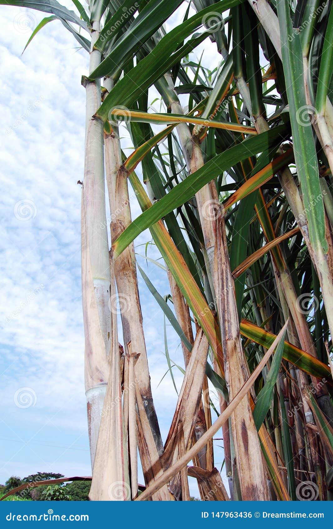 Canne à sucre dans le plein domaine