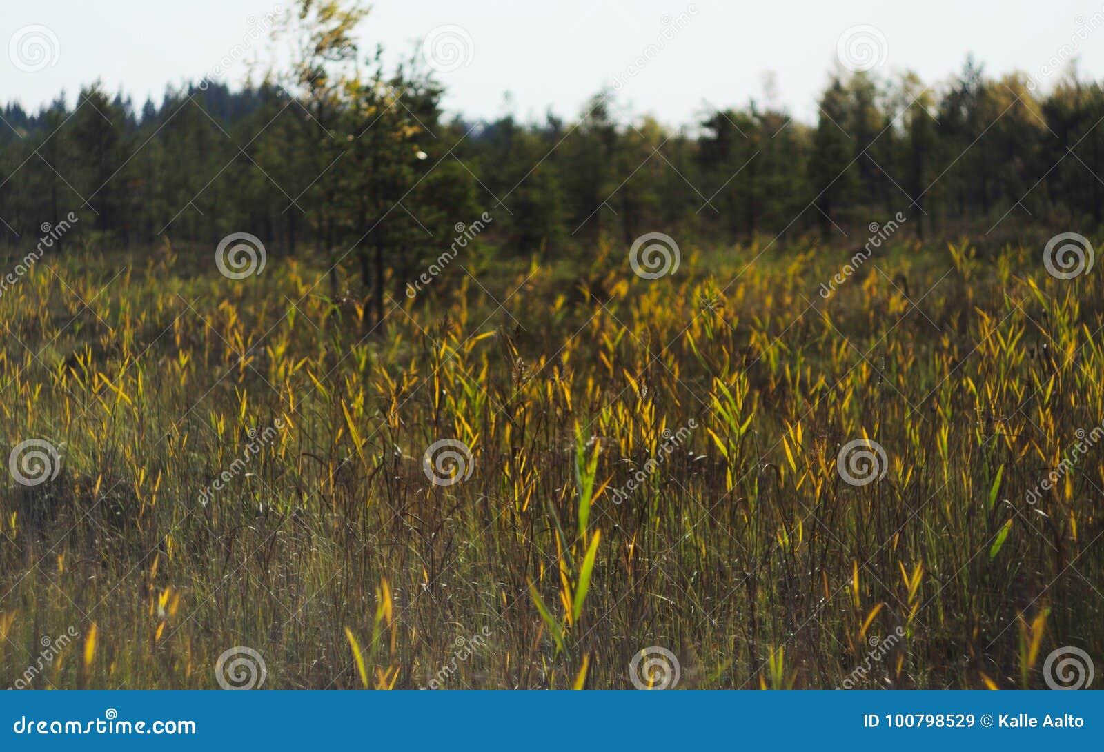 Canne, erba e gatto-code alte di una palude invasa