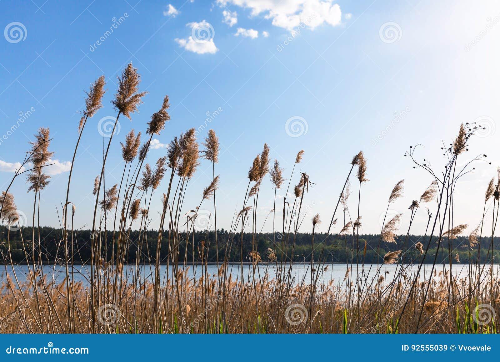 Canne sulla riva del fiume di Bobrirsa in primavera