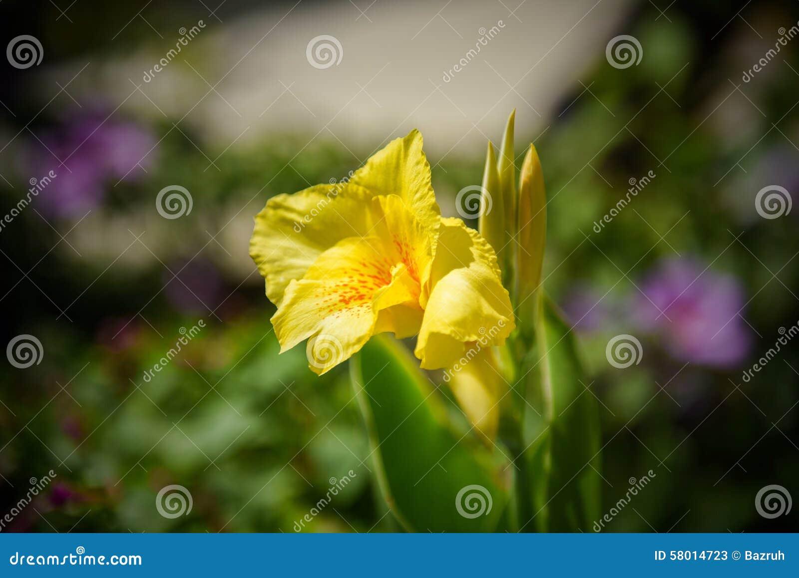 flor de jardim amarela:Cannes Amarela Bonita Em Um Jardim Foto de Stock – Imagem: 58014723