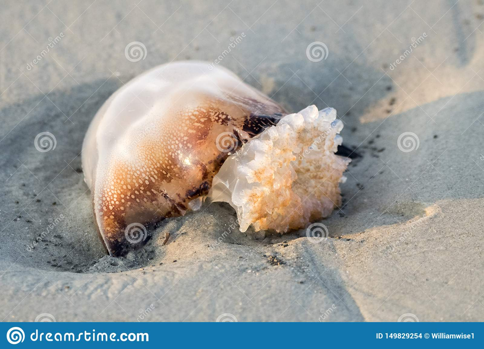 Cannonball Jellyfish On The Beach Stock Photo - Image of