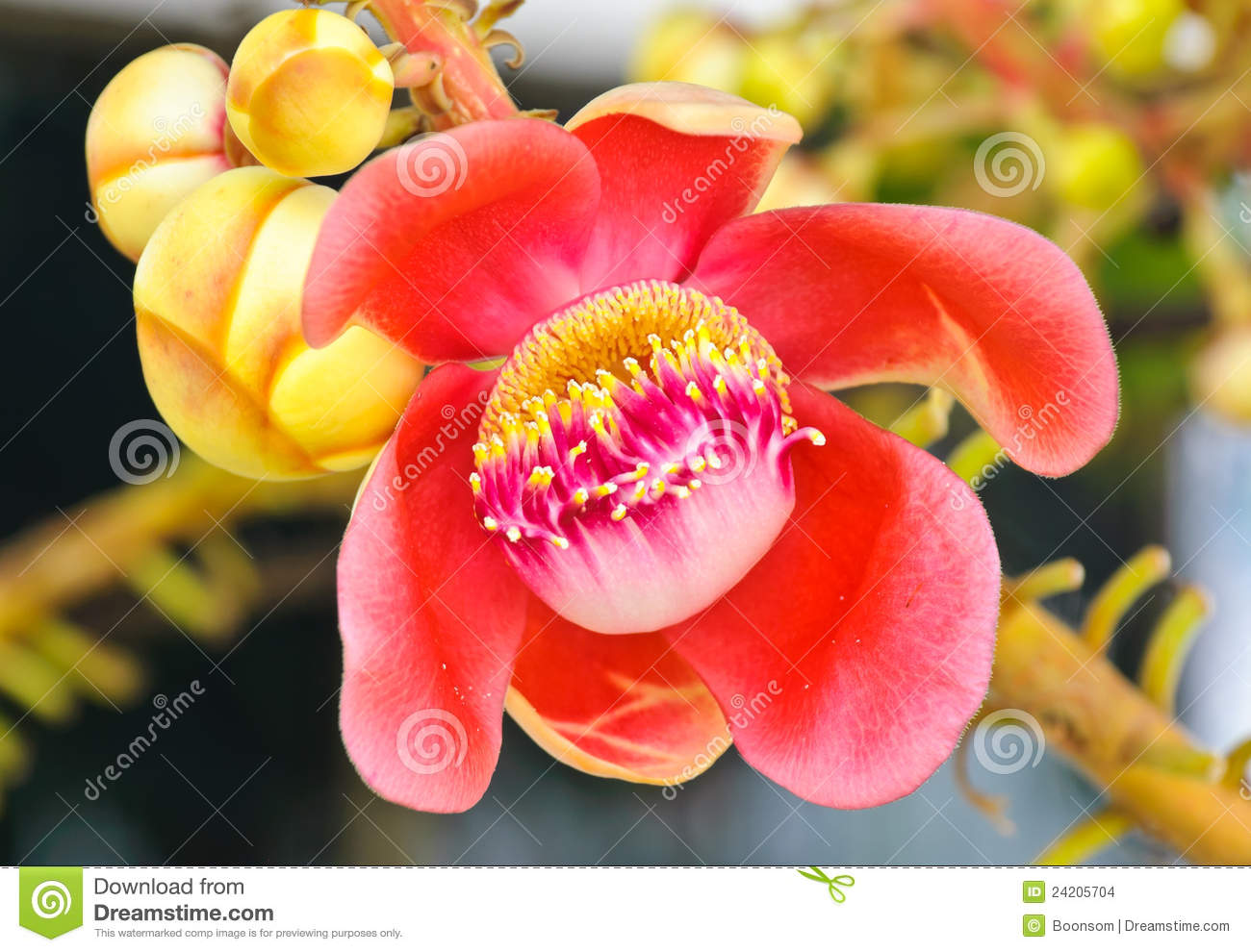 Cannonball Tree Flower Stock Photo Image Of Flora Pollen 24205704