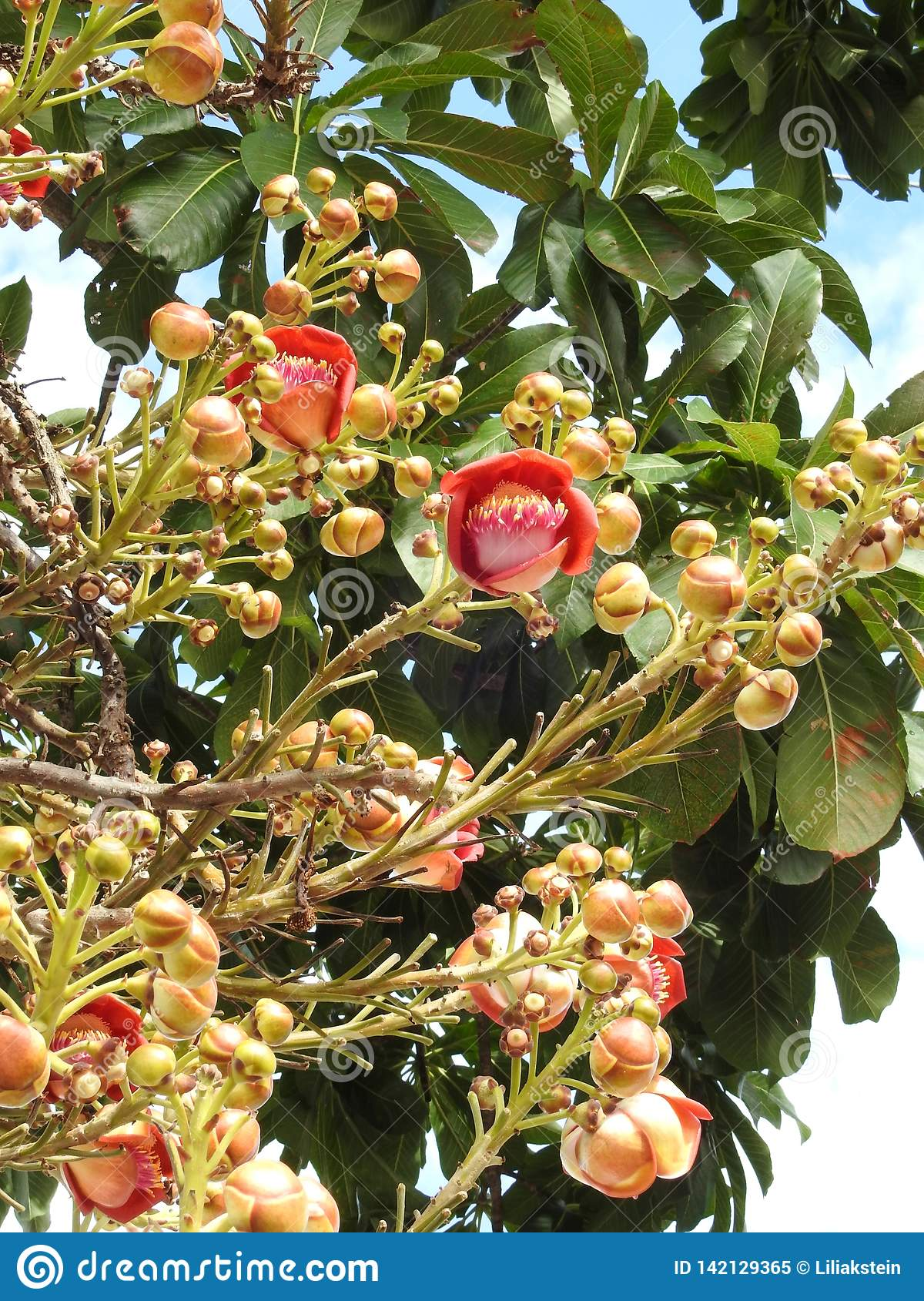 Cannonball tree flower couroupita guianensis with many buds and green leaves