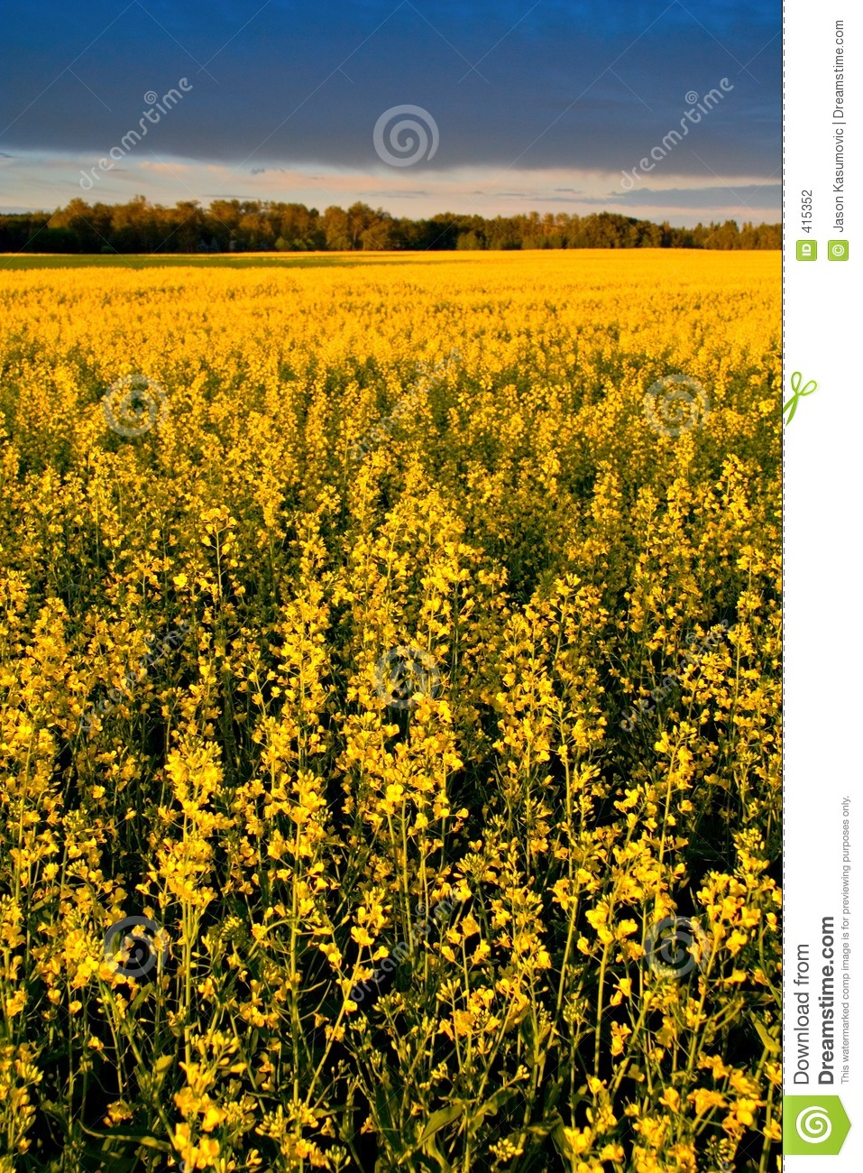 Canola Field Stock Photo. Image Of Farm, Crop, Farming