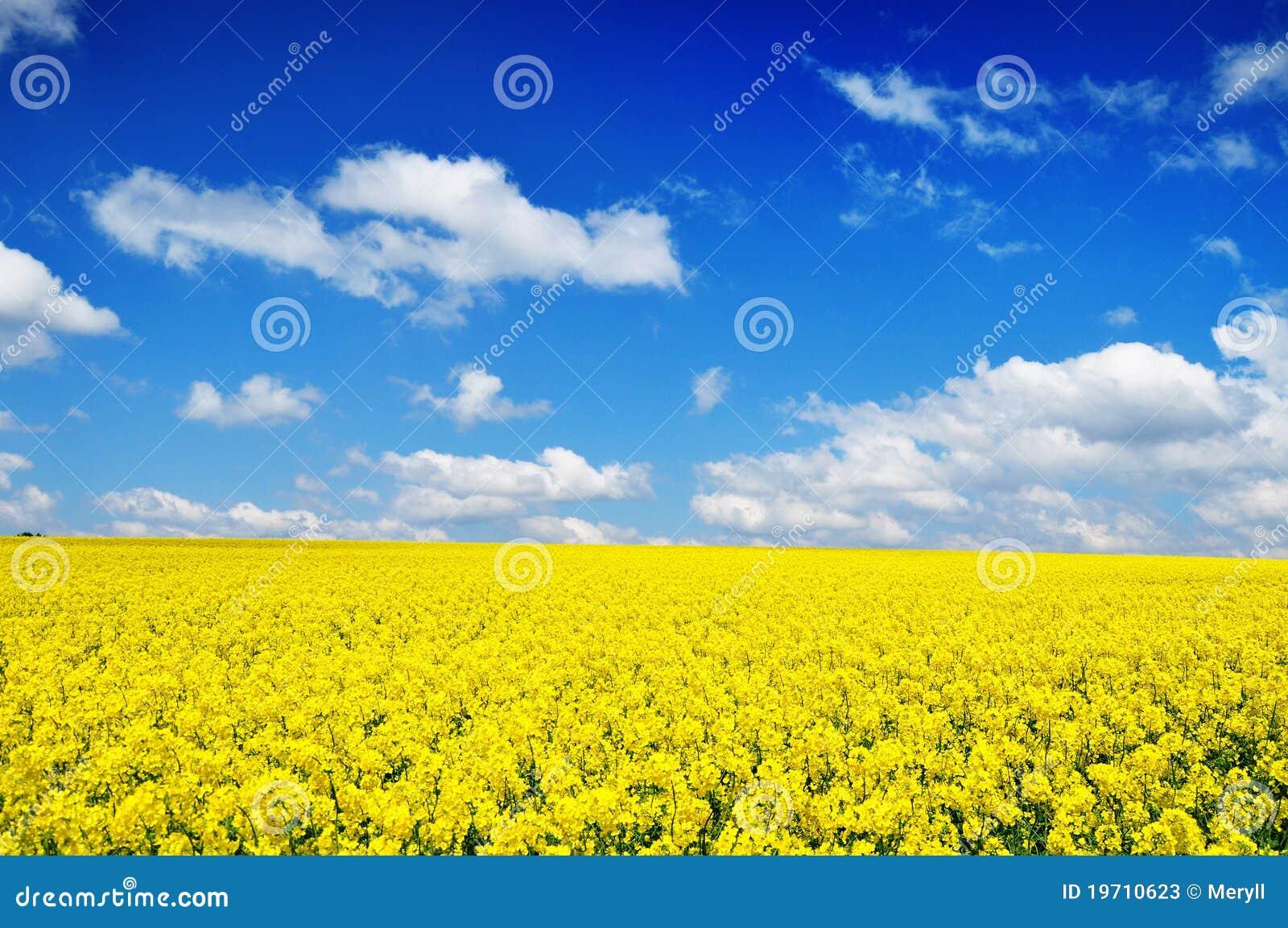Canola field nature background