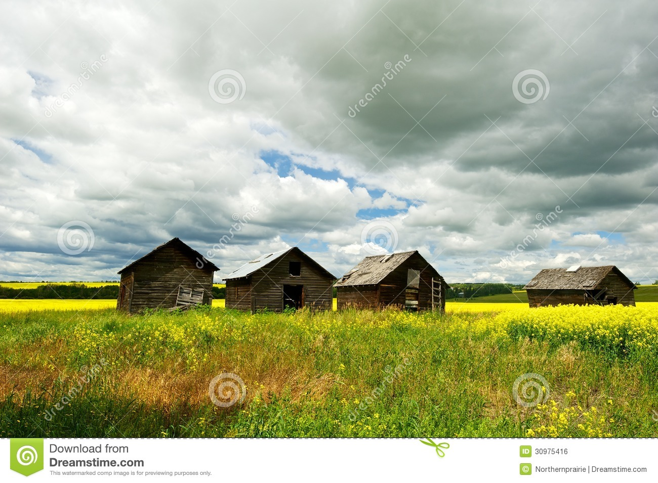 Canola field in sumer with four old granaries